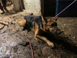 Bethel Neglect Case Scared German Shepherd