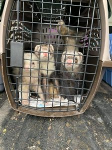 Bethel Neglect Case Ferrets in Carrier