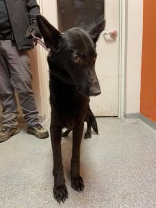 Bethel Neglect Case Dog at Shelter
